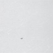 سفید صدفیD019
